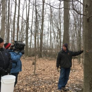 Image of Tapping maple trees for syrup