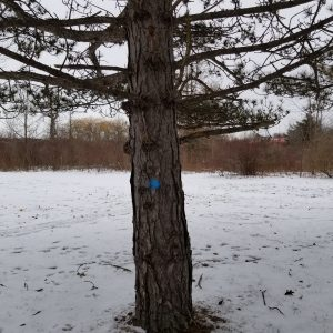 Blue dot painted on tree trunk to signify pruning by Hydro One