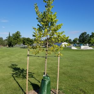 Newly planted tree with stakes and watering bag