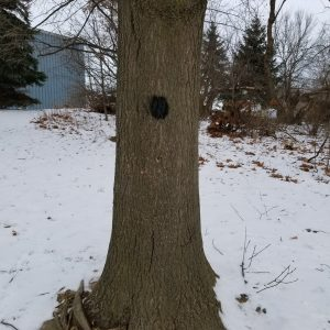 Black dot painted on tree trunk to signify pruning has been completed