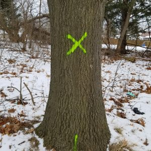 Green X painted on tree trunk to signify tree removal with green line at base to signify stump removal by the County
